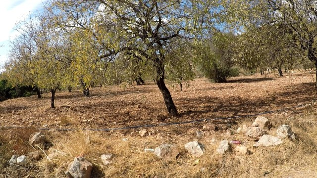 Almond trees, Datca peninsula, Turkey