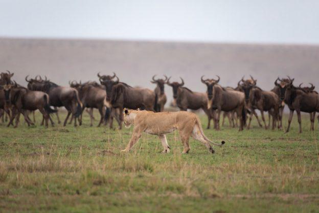 Great-Wildebeest-Migration-_-Ker-_-Downey-Africa-624x416