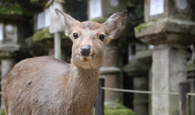 [2月9日-3月12日]奈良 奈良公園 鹿寄せ