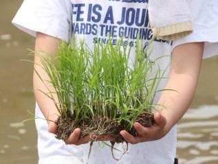 Rice planting of HARUYA