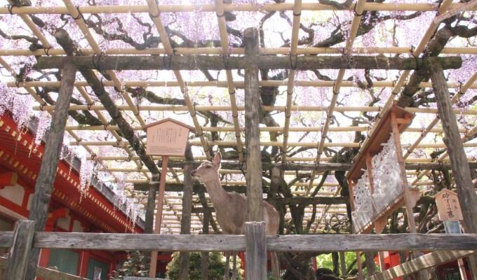 [4月下旬-5月上旬]奈良 春日大社 砂ずりの藤