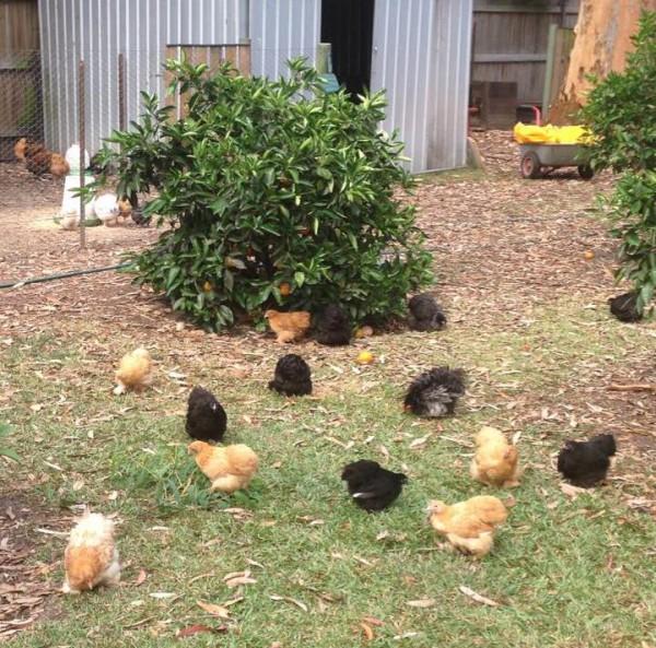 JD's Backyard Hens.
