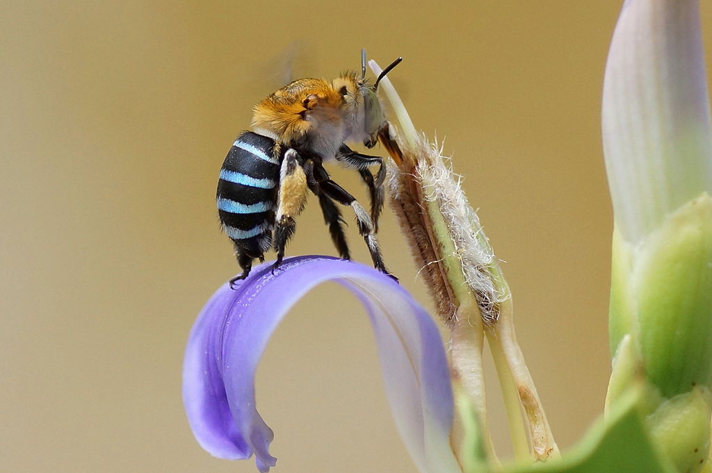 1024px-Blue_banded_bee_3.jpg