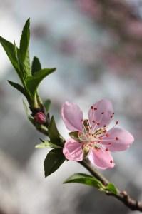 peach-blossom-76122_1280