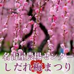 名古屋市農業センターしだれ梅まつり。2019年の開花状況と見ごろ