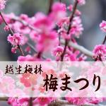 越生梅林の開花状況2019。気になる梅まつりの見ごろはいつ?