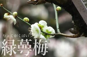 okurayama_ume_007