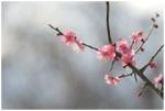 佐布里池の梅まつり2017。アクセス方法と梅林の開花状況は?