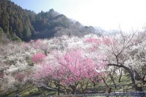 takaobaigou_ume_004