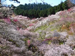 湯河原の梅まつりといえば、幕山公園が有名です。開花状況はいつでしょうか?