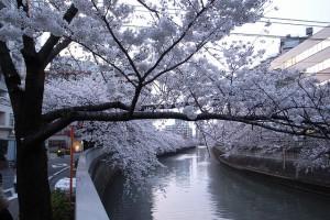 目黒川の桜まつりは東京の隠れた人気お花見スポットです。