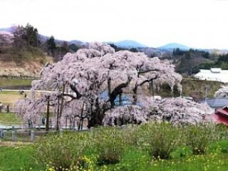 しだれ桜の名所といえば、京都が有名ですが他にもあるようです。