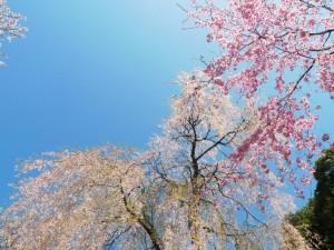 奈良吉野の桜見ごろはいつか?開花予想について調べてみました。