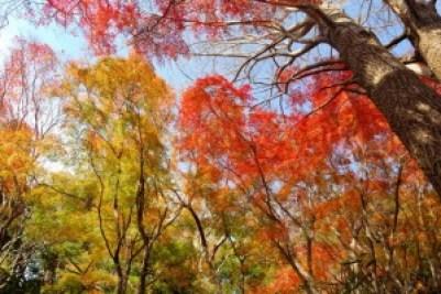 kamakura_autumn_leaves_2015_003
