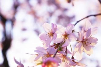 cherry_blossom_rikugien_2016_001