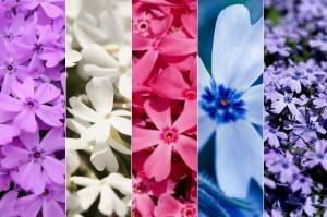 茶臼山芝桜の見頃と開花状況。渋滞情報と混雑を回避する方法