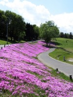 羊山公園の芝桜2015年の見ごろは?混雑、渋滞はするの?