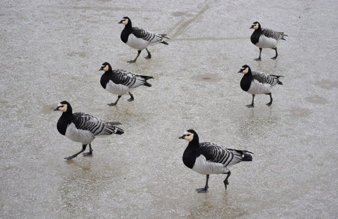 Barnacle geese marching on frozen lake