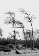 Windfluchters trees, Germany