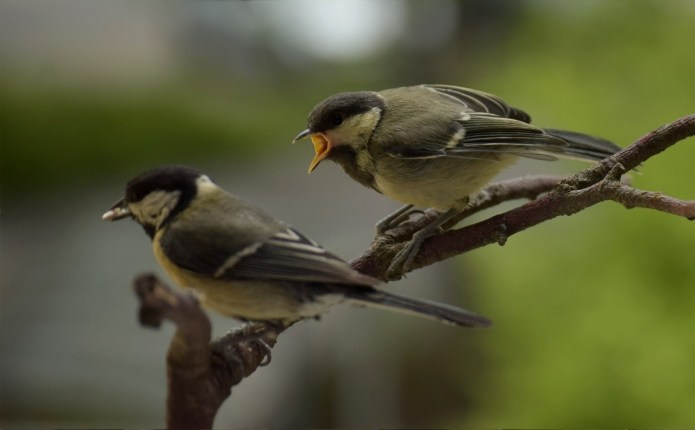 Great tit feeding chick