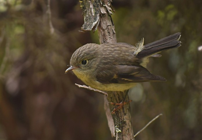 Female Tomtit (2)