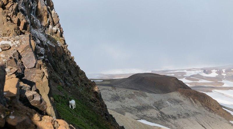 Polar bear walking up rocky mountainside