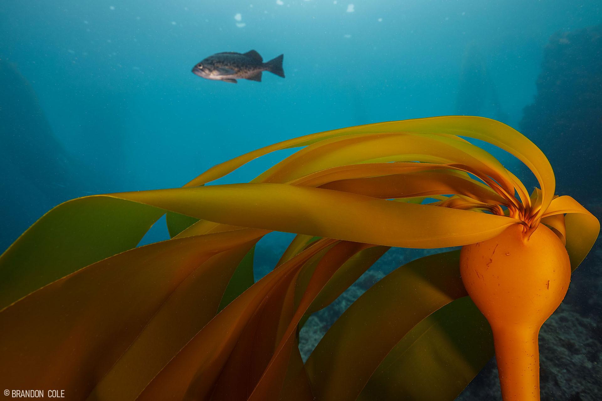 A blue rockfish swims above yellow kelp.
