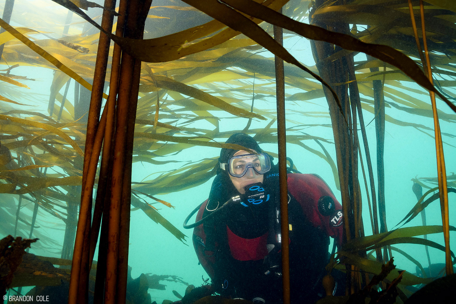 A diver swims in the kelp forest.