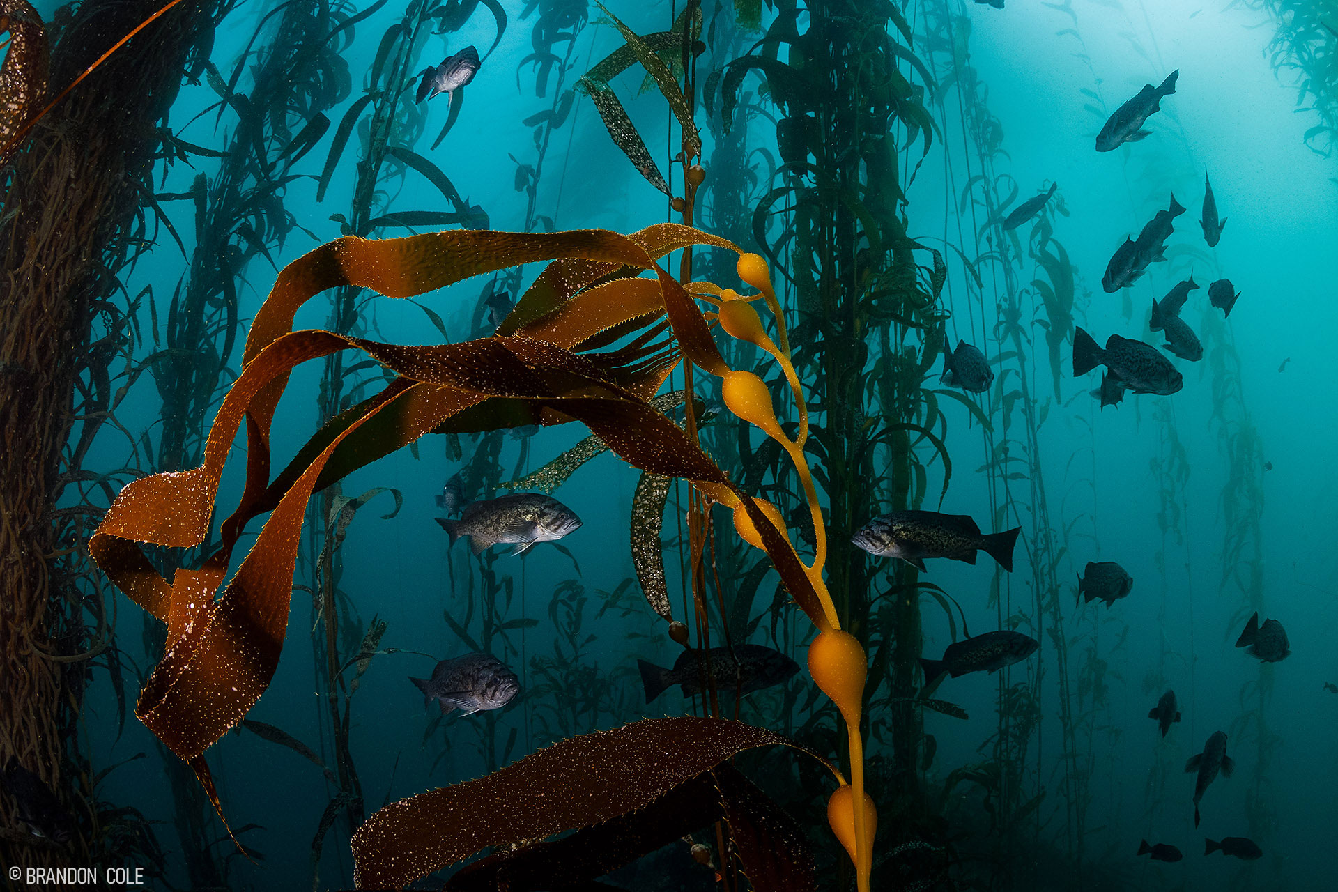 Kelp in the blue sea with fish