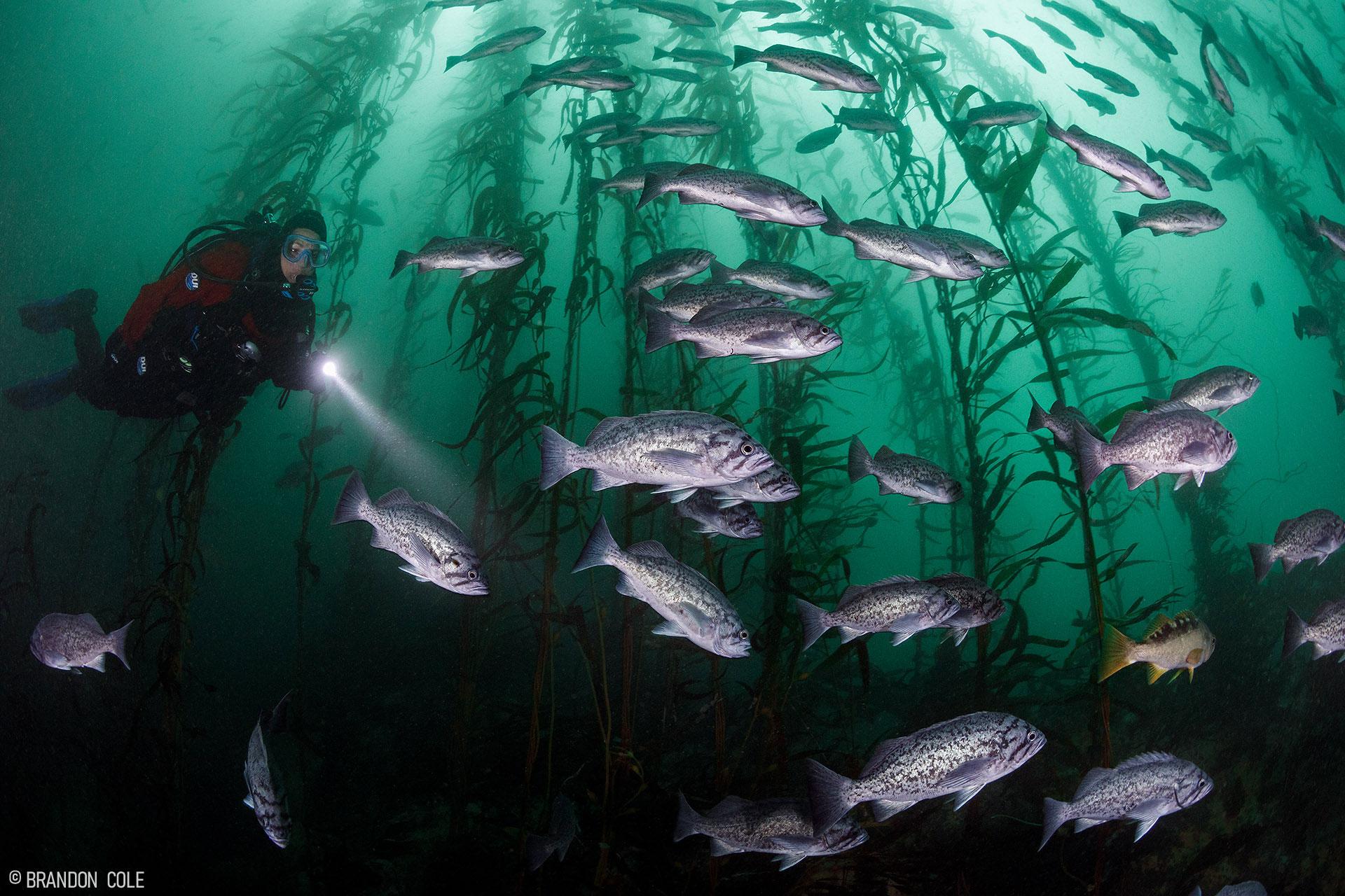 Silver-colored blue rockfish swim in a green sea.