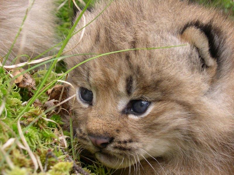 Lynx kitten
