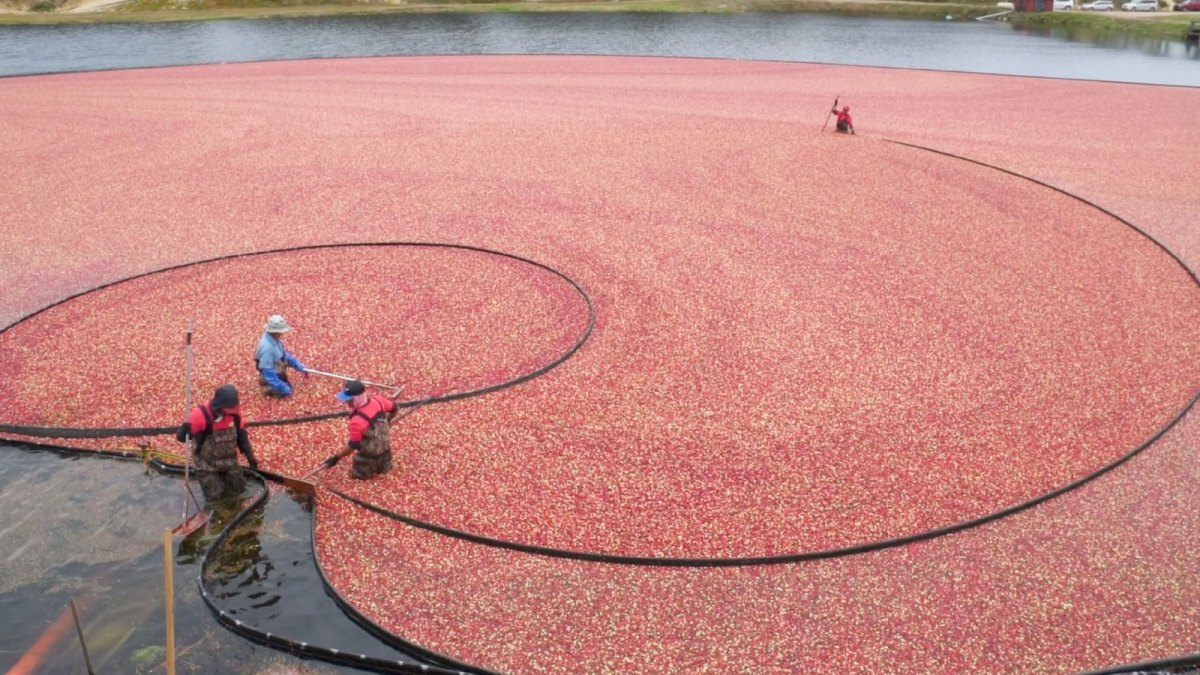 A cranberry bog from above.