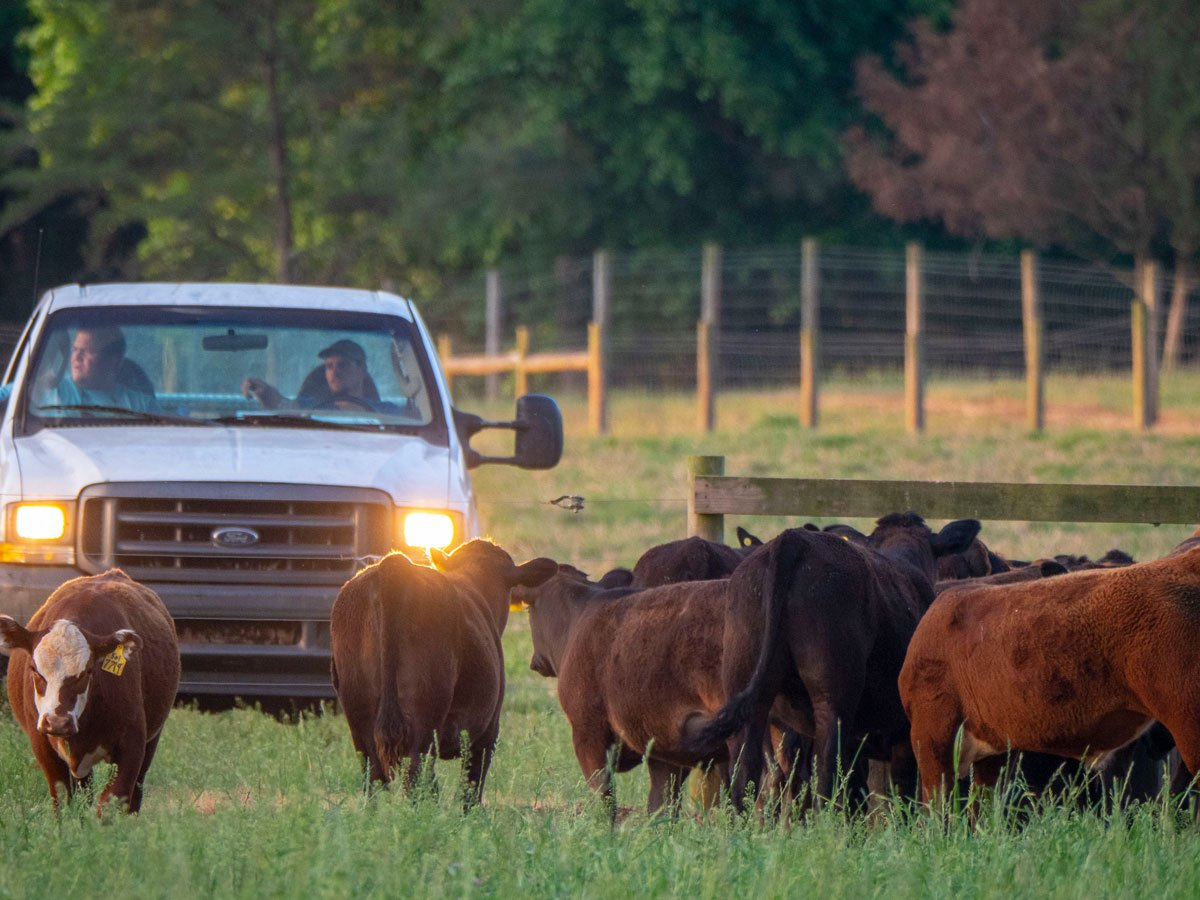 cows and ranchers