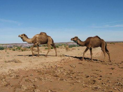 Camels-Walking