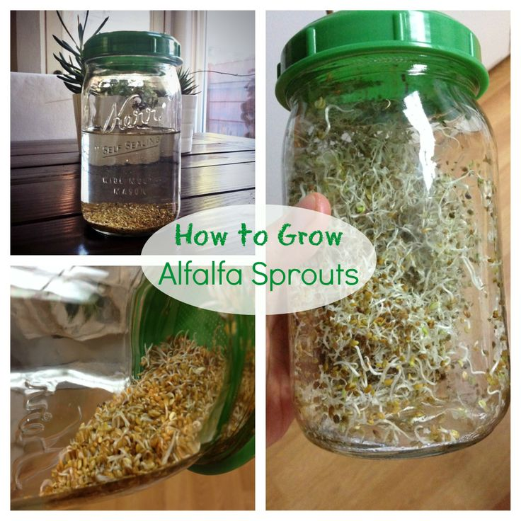 Easy how to grow alfalfa sprouts at home on the blog