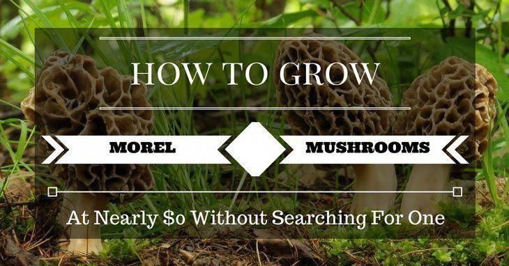 how to grow morel mushrooms in your basement