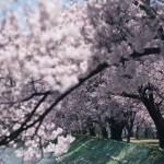 長野県伊那市にある六道の堤に桜を撮りに行ってきました。