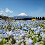 山梨県でもネモフィラを。山中湖近くの花の都公園でネモフィラと富士山を撮る。