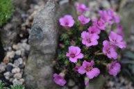Crevice garden 02