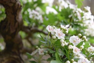 Hawthorn flowers 02