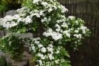Hawthorn flowers 06