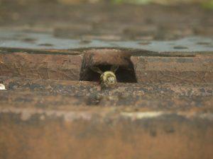 自然巣から出て来たミツバチ