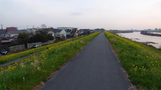 160308Tue 菜の花 江戸川 我が家の散歩道 (24)