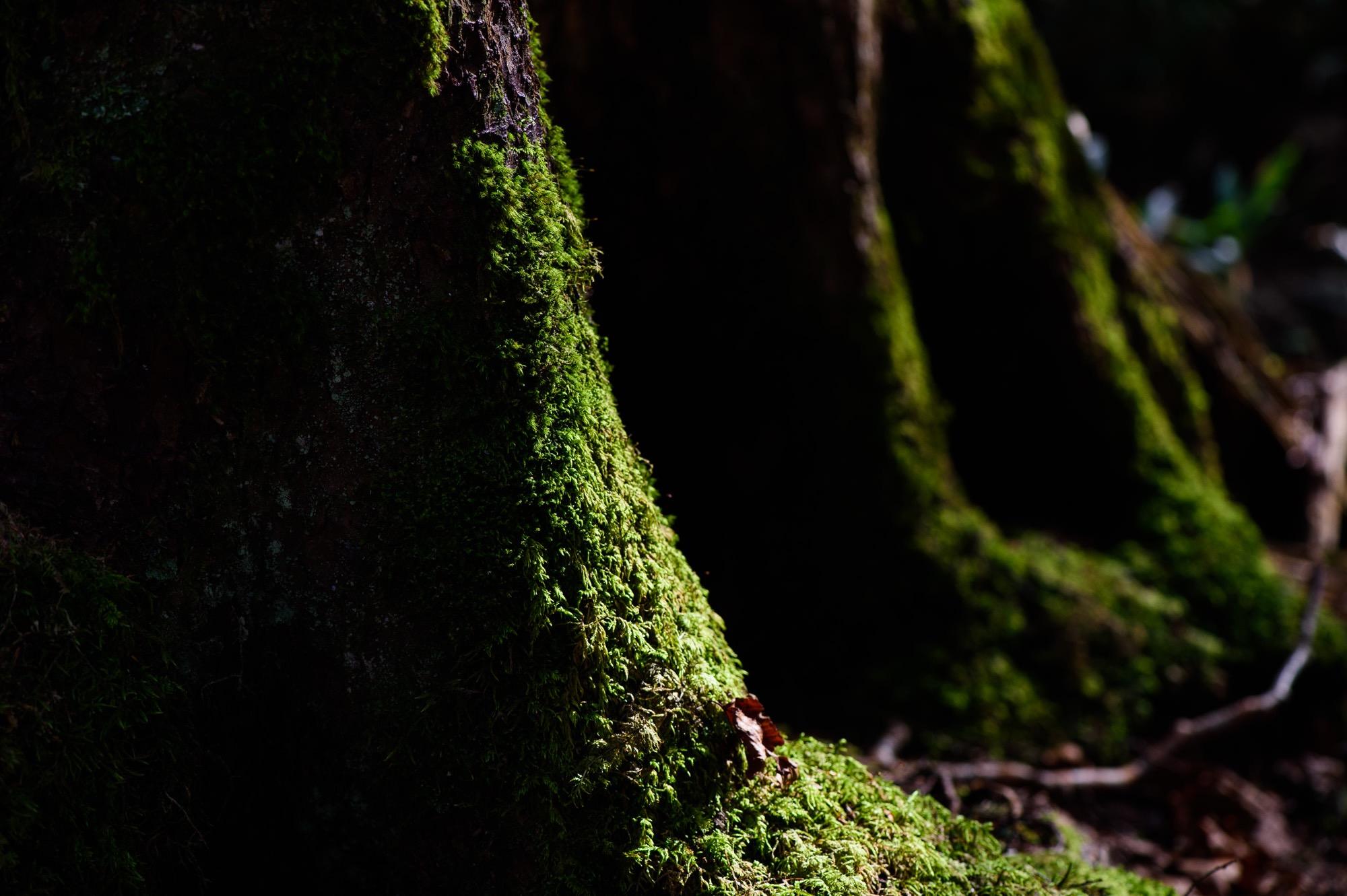 夕日に照らされる苔