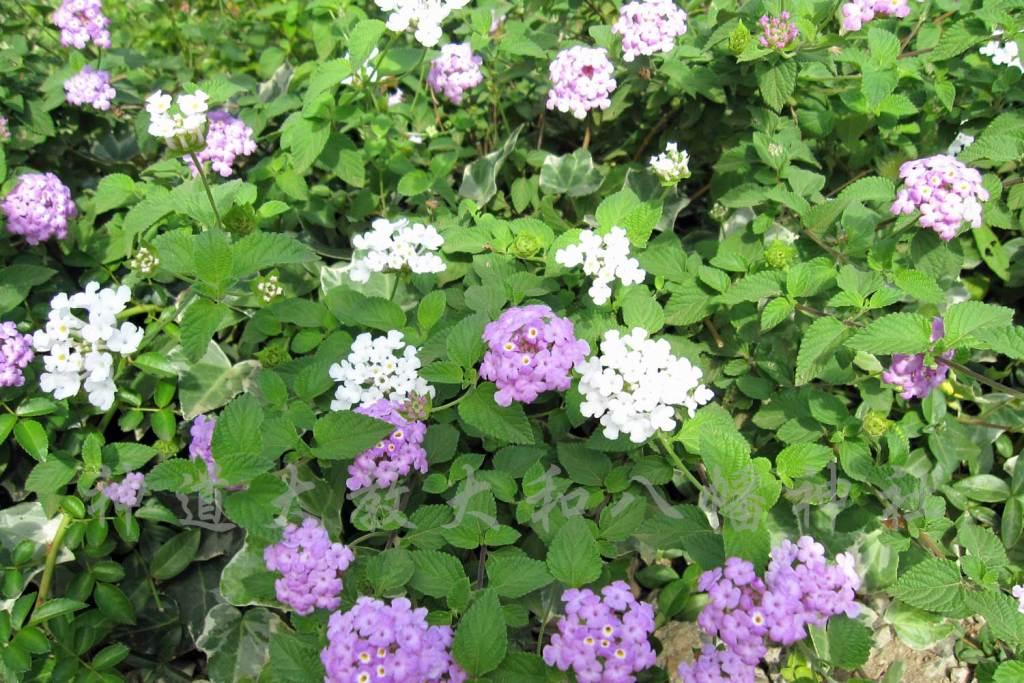白と紫のランタナ