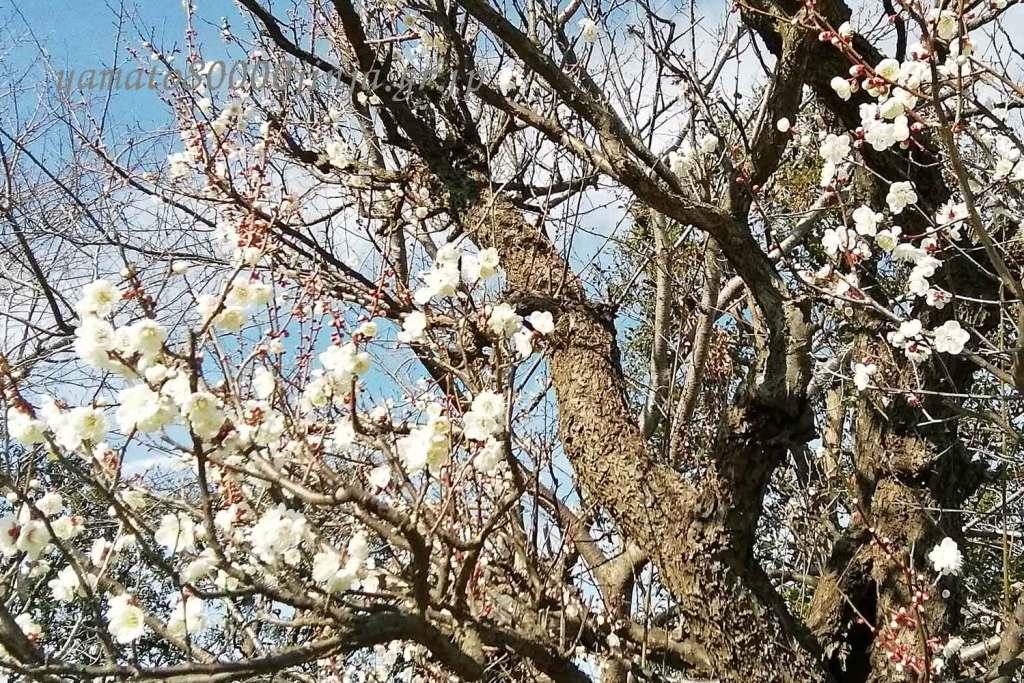 梅の木:古事記の編纂稗田阿礼について