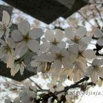 鳥居と桜:古事記が三巻の理由
