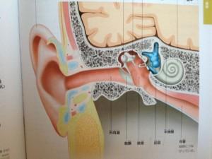 耳の解剖図