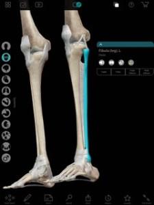 青い部分が腓骨です