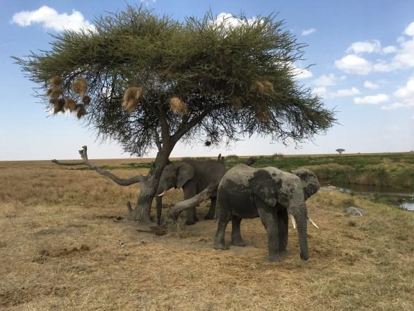 Elefanter under tre